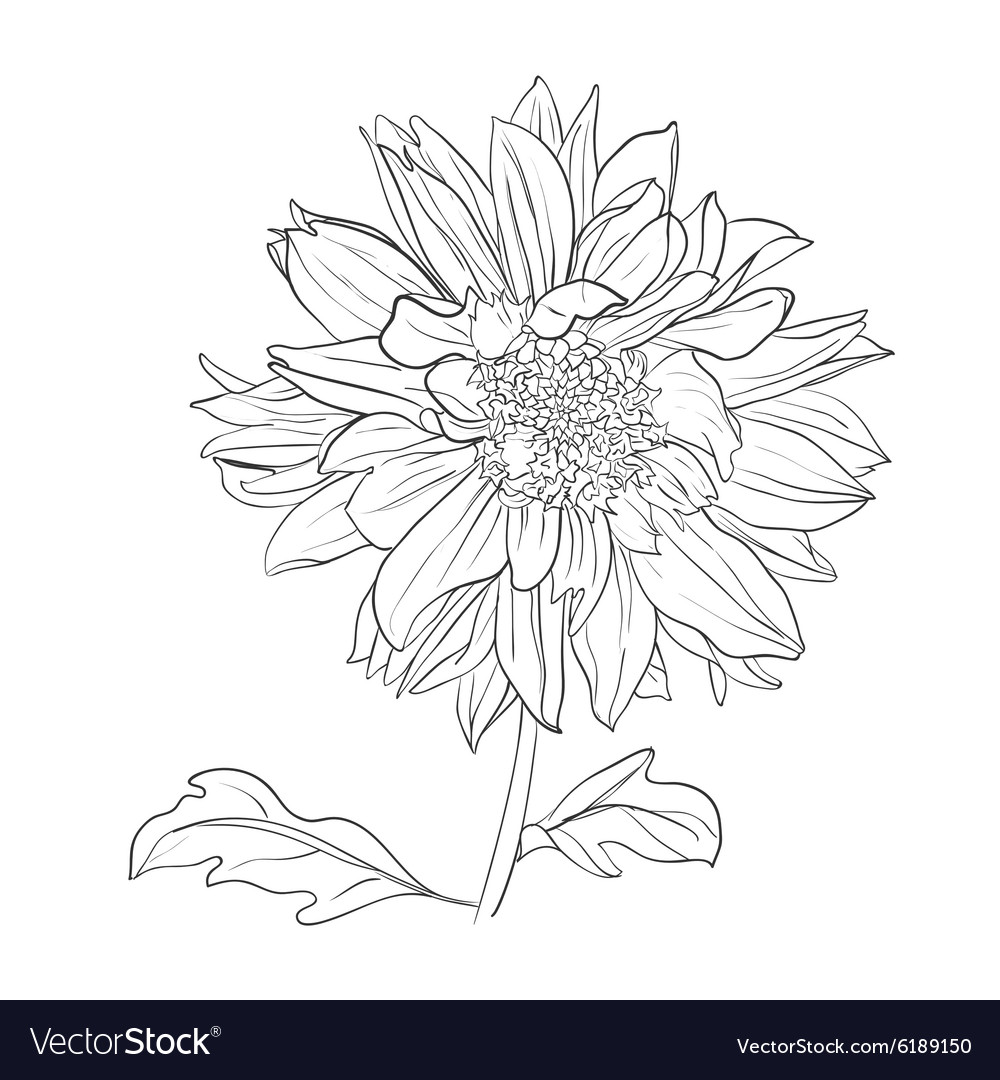 hand drawn realistic dahlia flower royalty free vector image