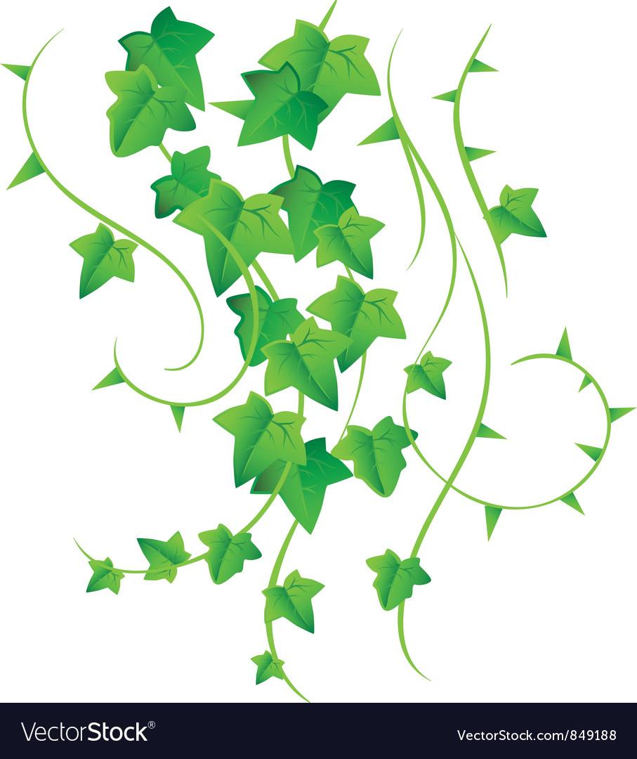 Ivy vector image