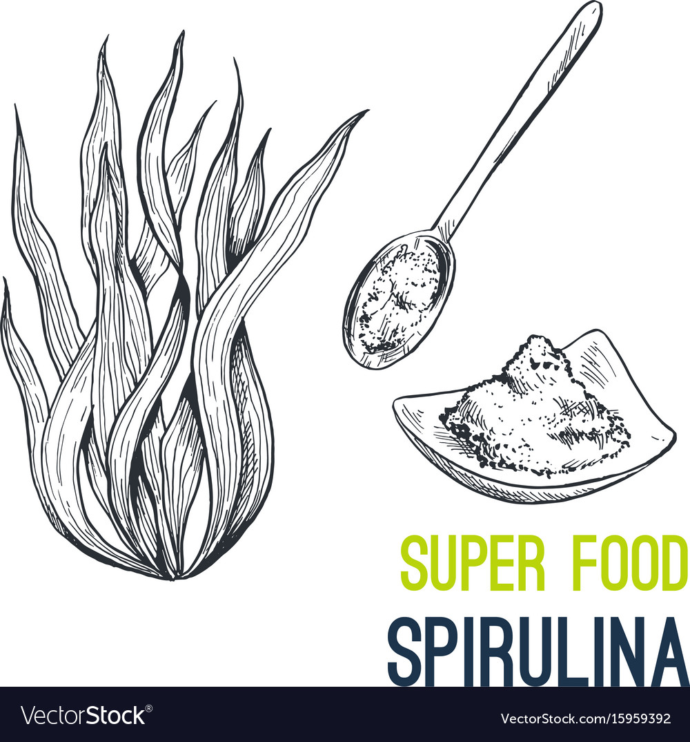 Spirulina super food hand drawn sketch vector image