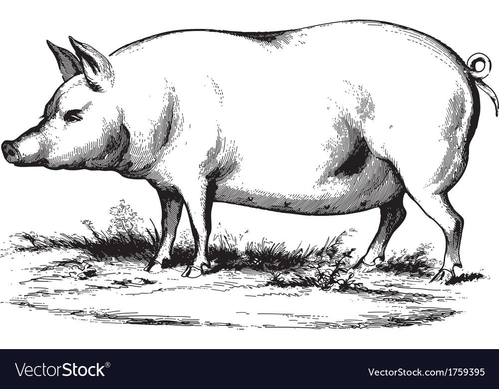 Swine 2 vector image