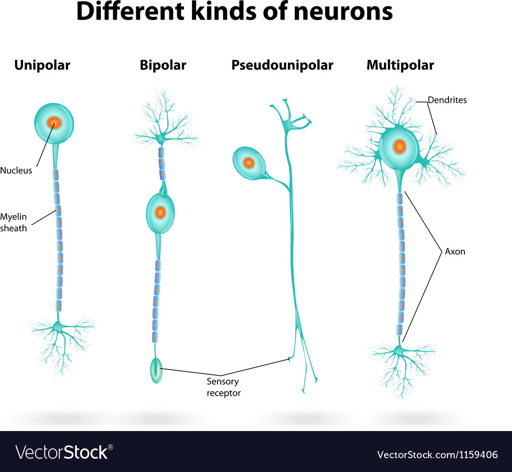 Neurons vector image