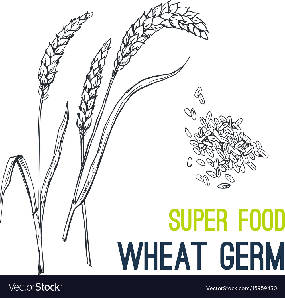 Wheat super food hand drawn sketch vector image