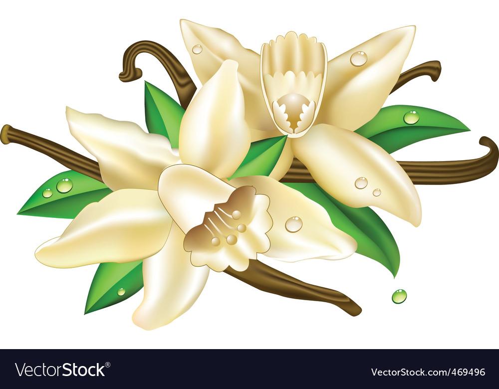 Vector vanilla flowers vector image