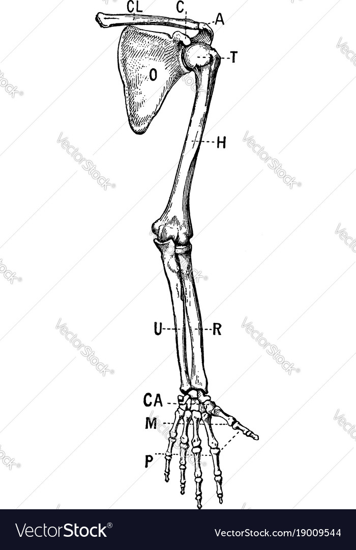 Bones of the shoulder and upper extremity - front vector image