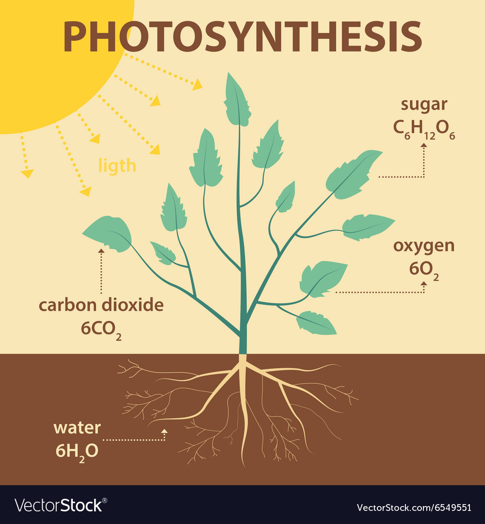 Schematic diagram photosynthesis plant royalty free vector schematic diagram photosynthesis plant vector image pooptronica Image collections