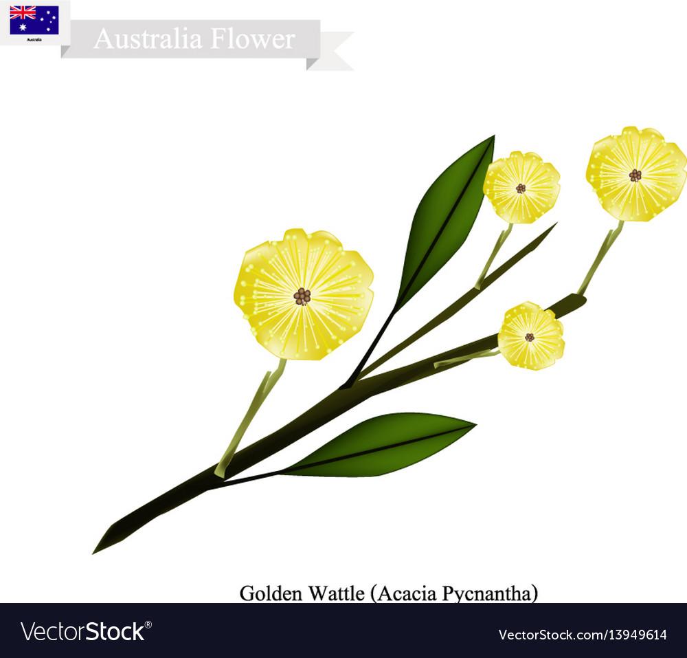 Golden wattle the national flower of australia vector image