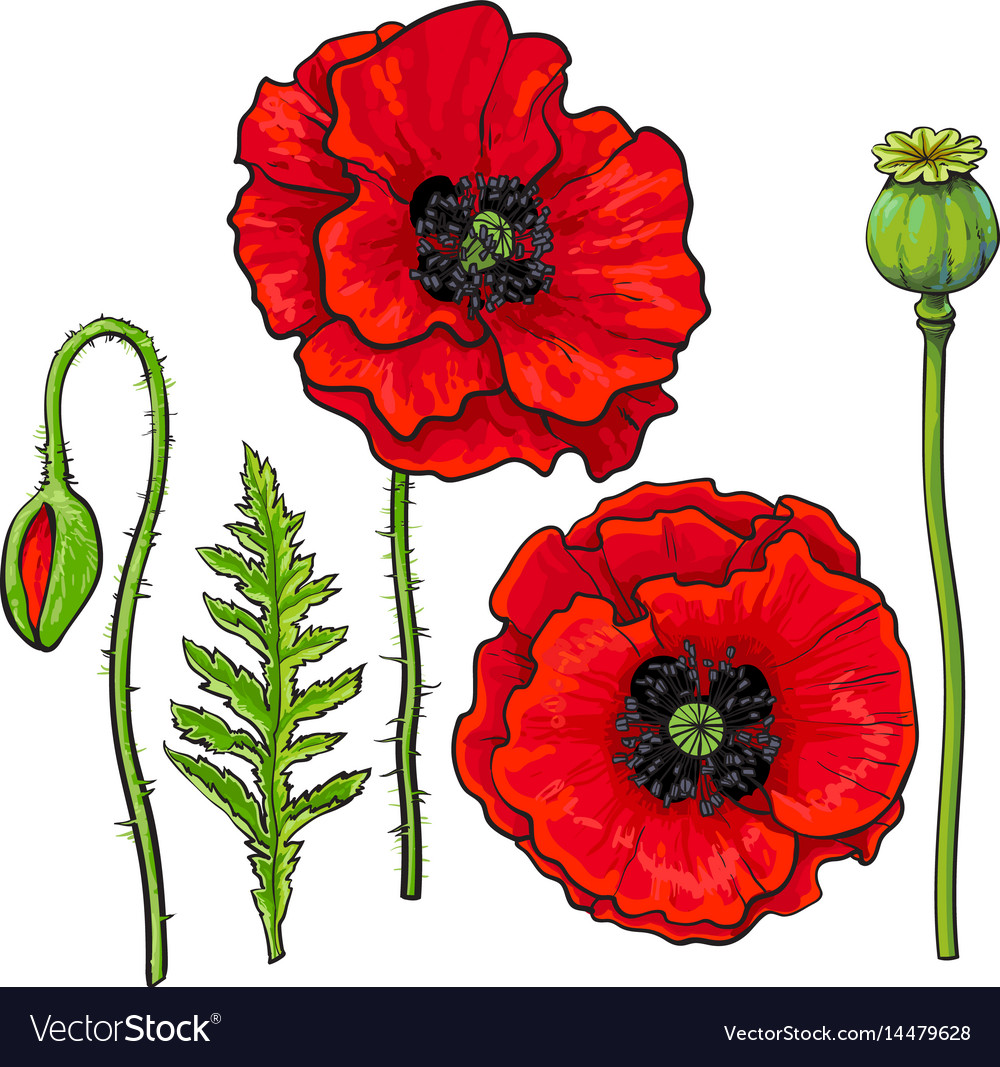Photo of red poppy flower flowers healthy hand drawn set of red poppy flower bud pod leaf vector image mightylinksfo