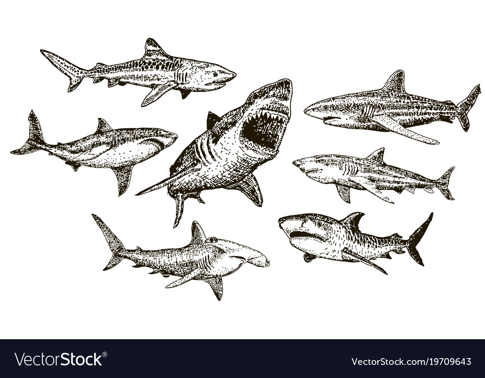 Ink hand drawn shark icon set vector image