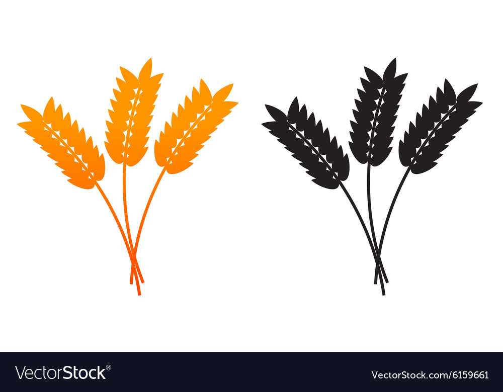 Ears of Wheat Barley or Rye vector image