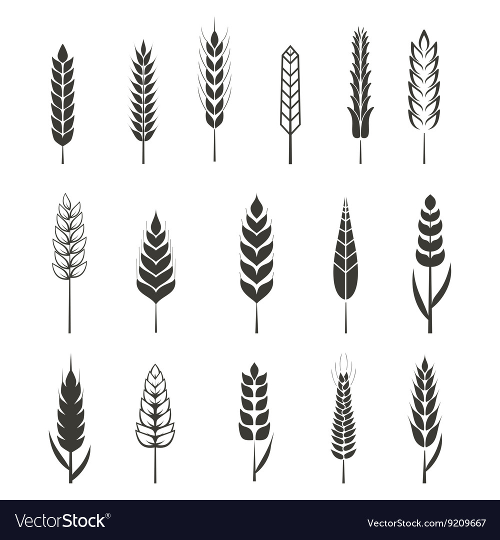 Set of simple wheat ears icons and design elements vector image