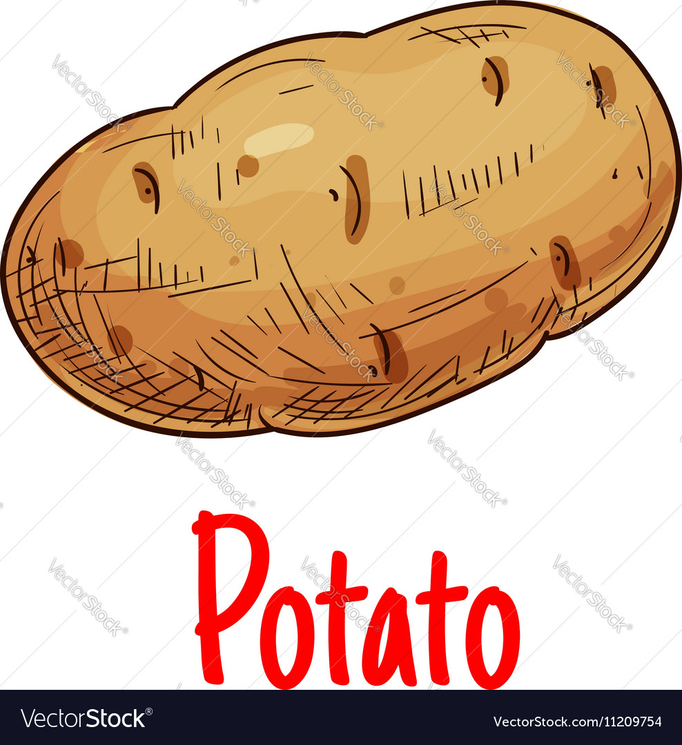 Potato tuber vegetable sketch icon vector image