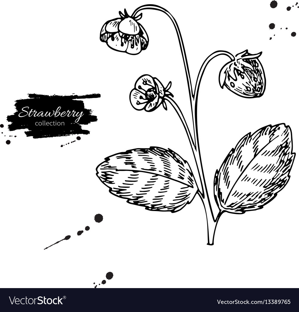 Strawberry plant drawing isolated hand vector image