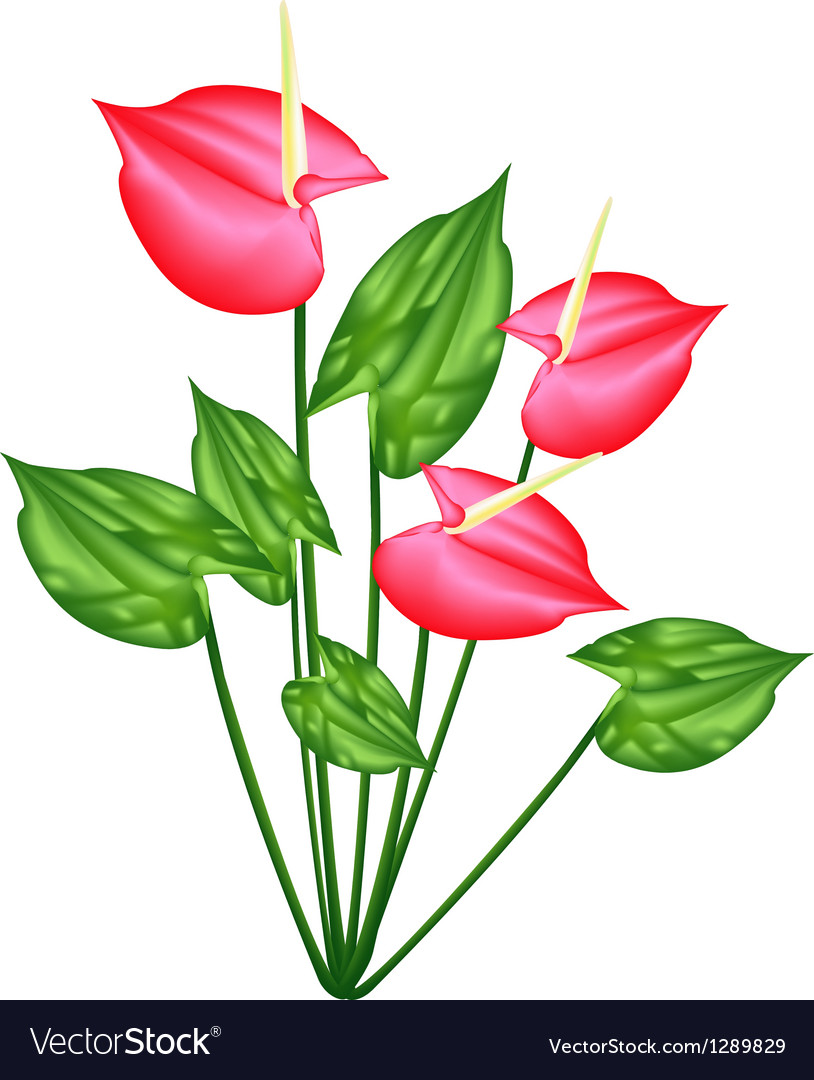 Fresh Red Anthurium Flowers or Flamingo Lily Vector Image