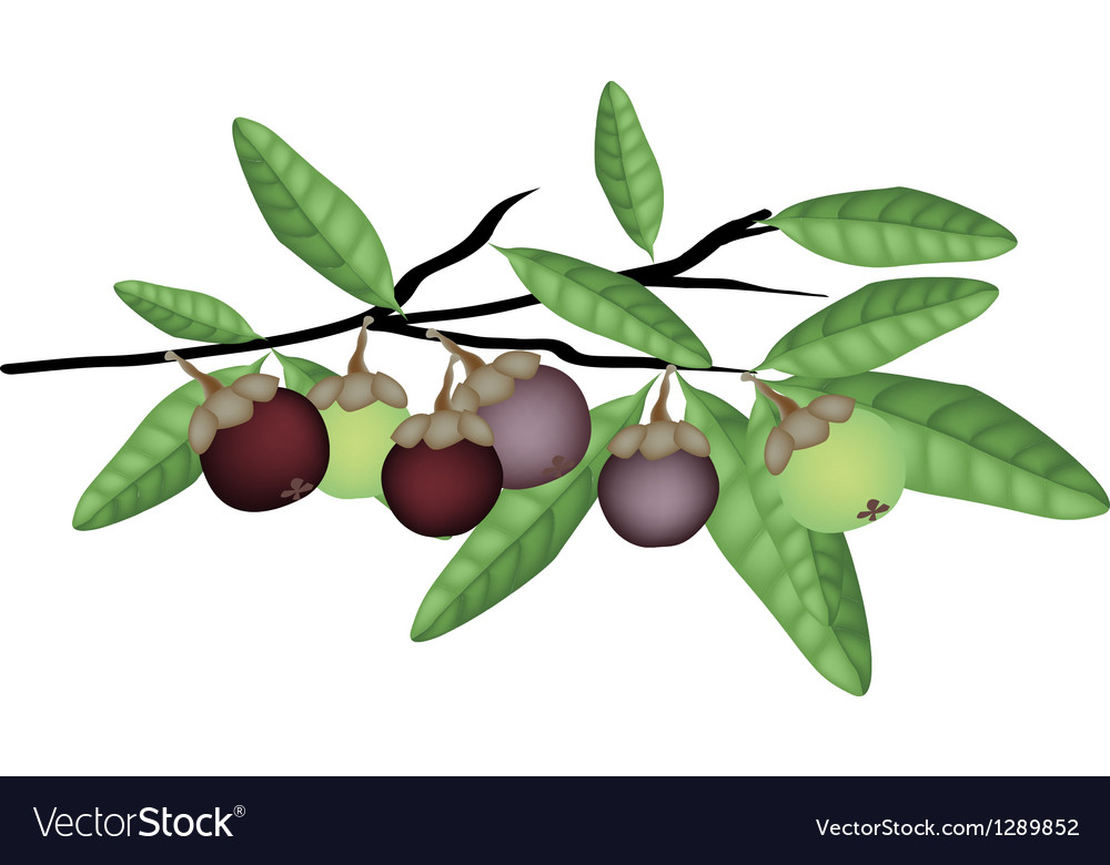 Fresh Purple and Green Mangosteens on Tree Branch Vector Image