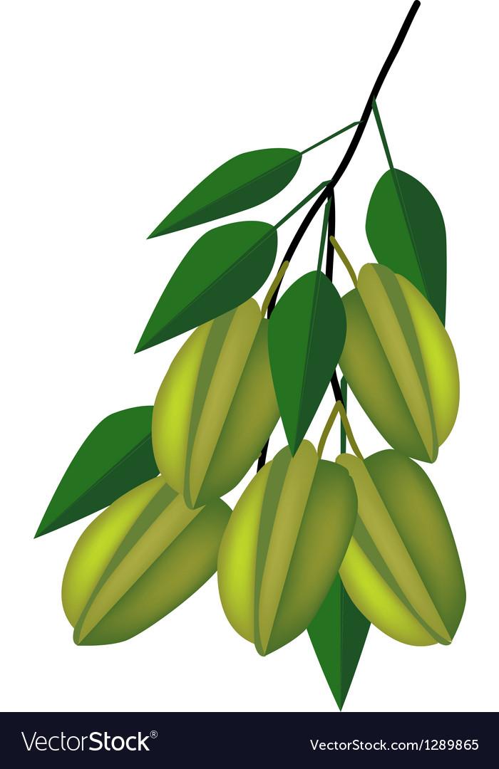 Delicious Fresh Green Carambolas on Tree Branch Vector Image