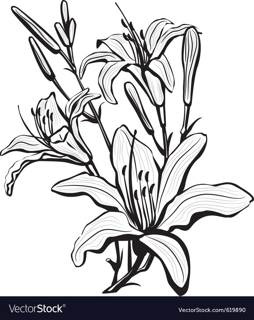 Sketch of lily flowers vector image