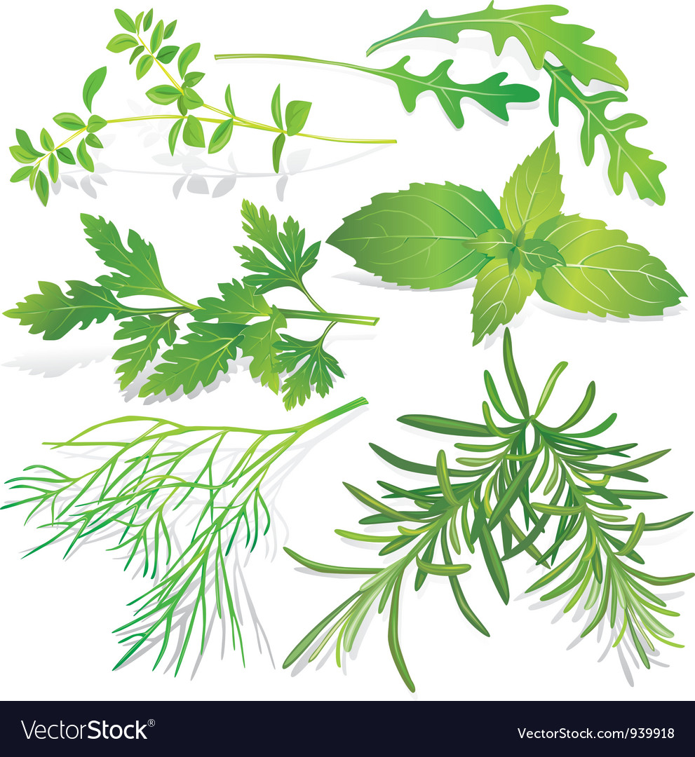 Collection of fresh herbs vector image