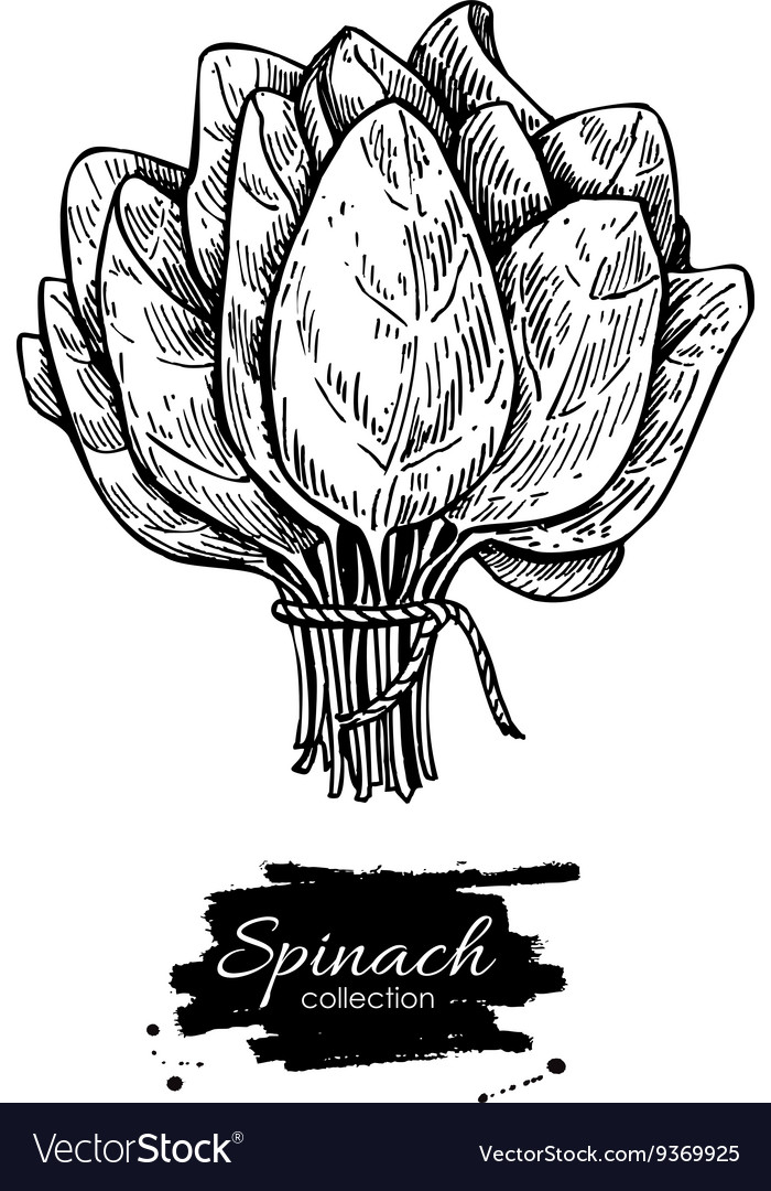 Spinach bunch hand drawn Isolated Spinach vector image
