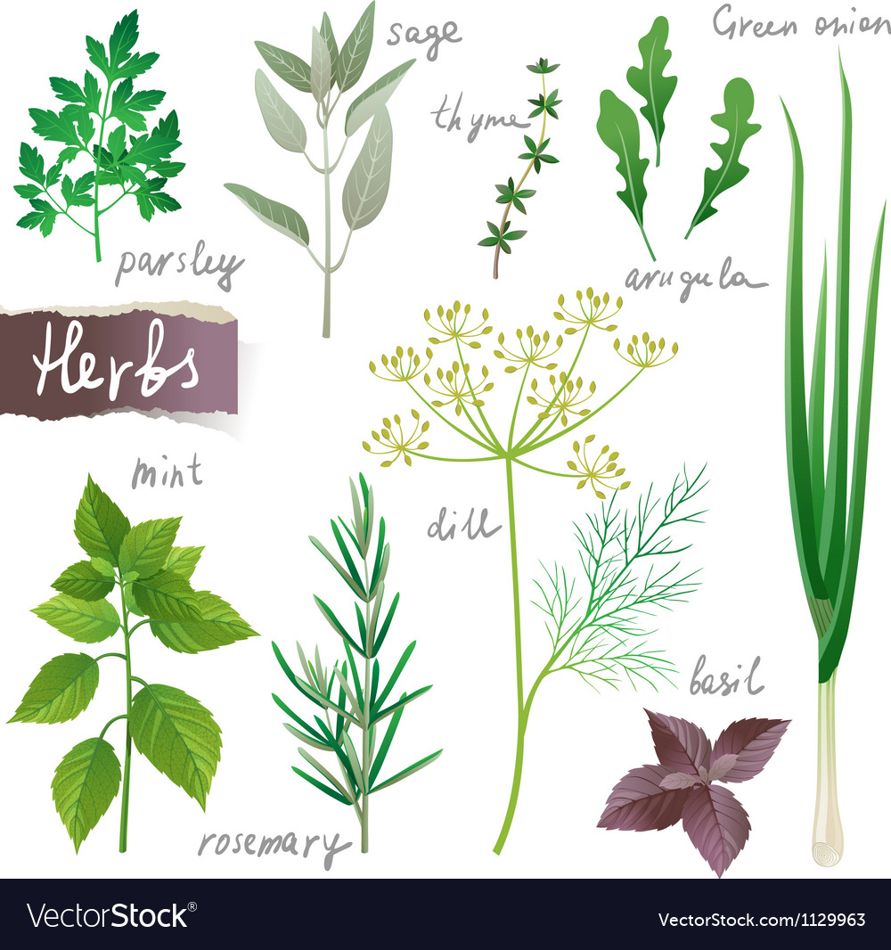 Herbs set vector image