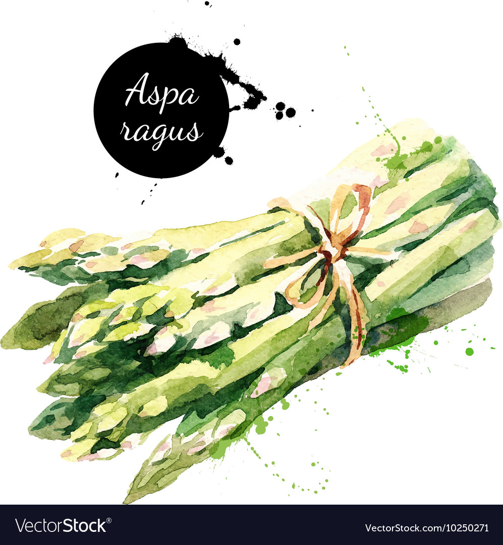 Watercolor asparagus isolated eco food on white vector