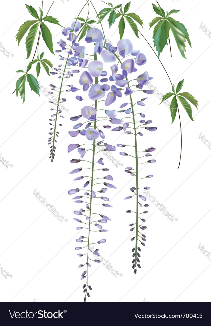Blooming wisteria branch with leaves vector