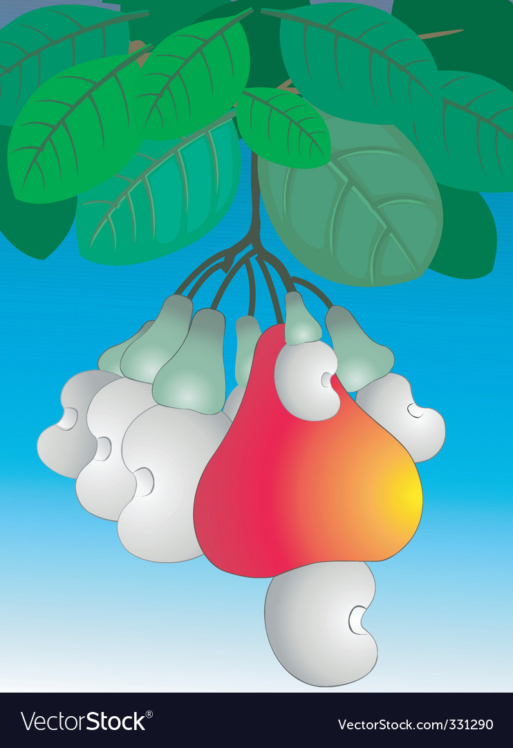Cashew nut vector