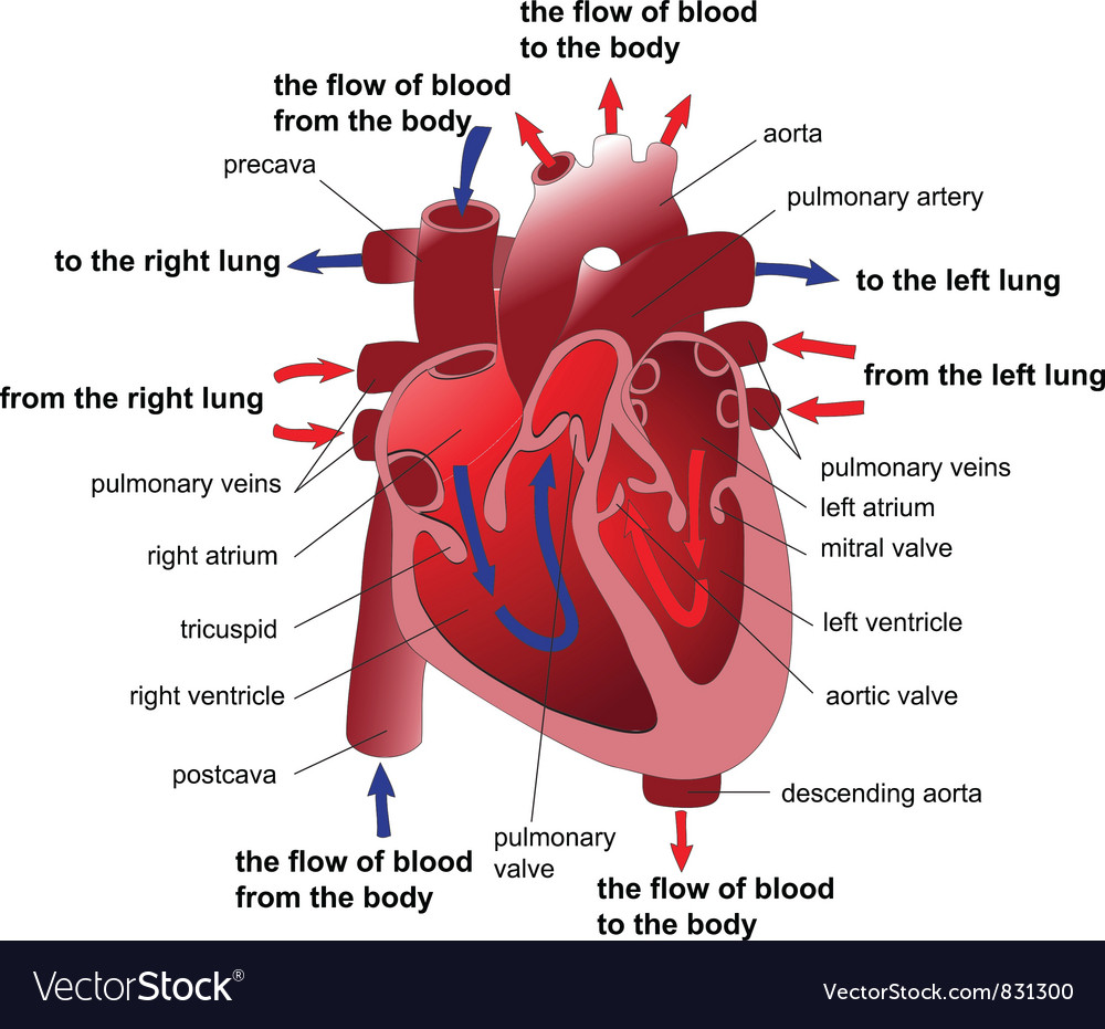 Heart section vector