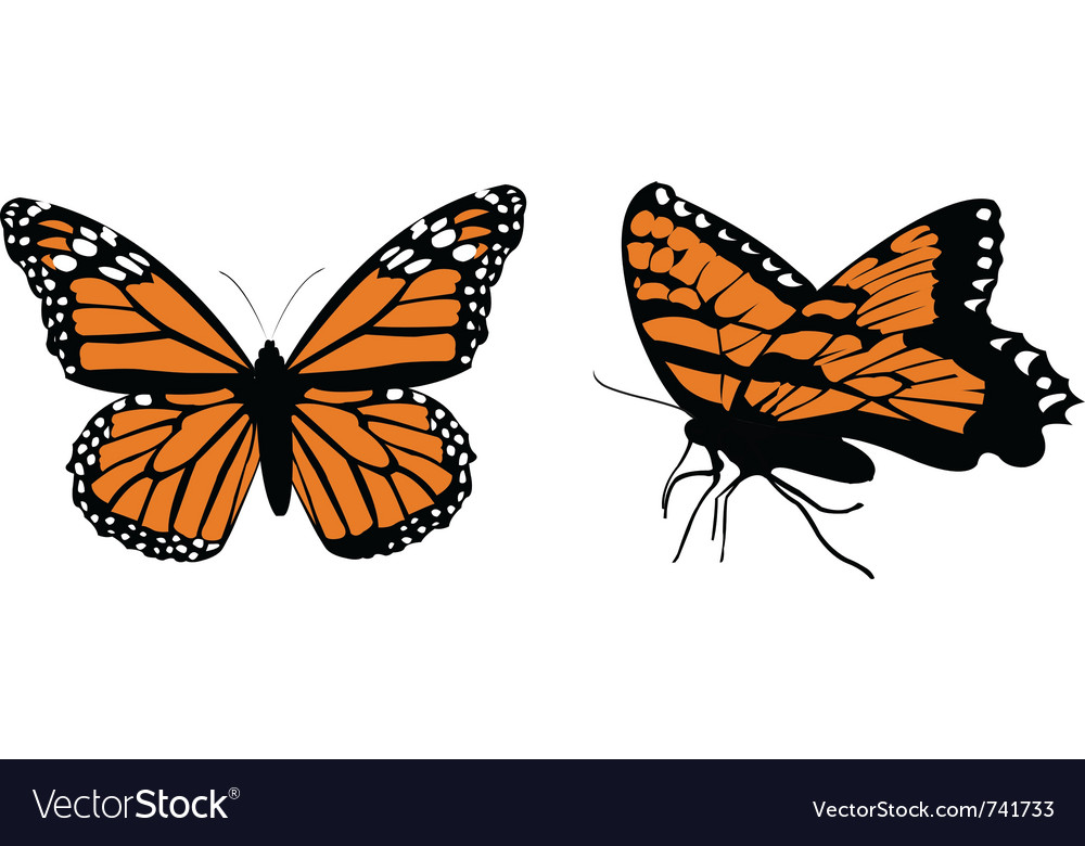 Monarch butterflys vector