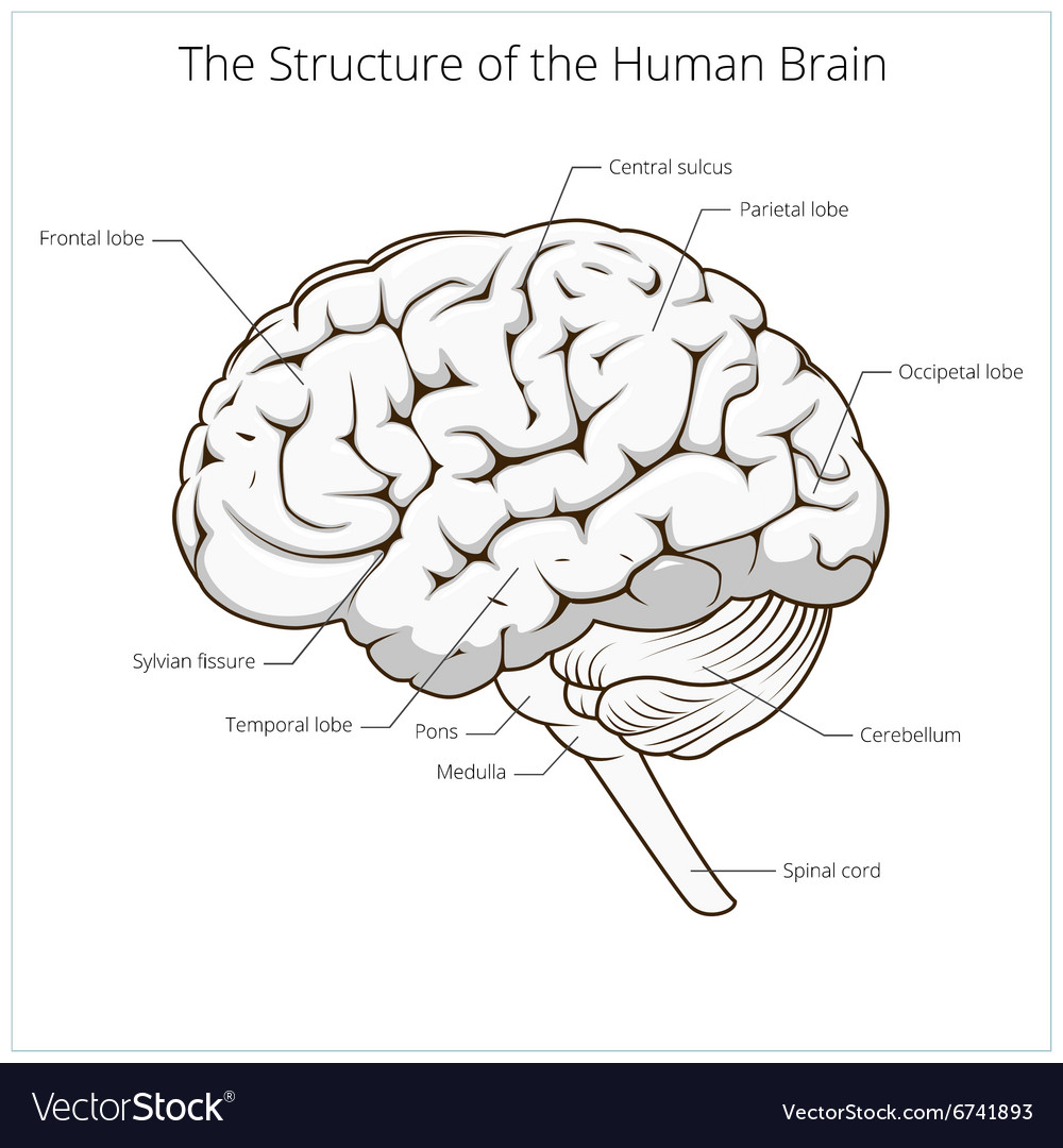 structure of human brain schematic vector by apokusay  image, schematic