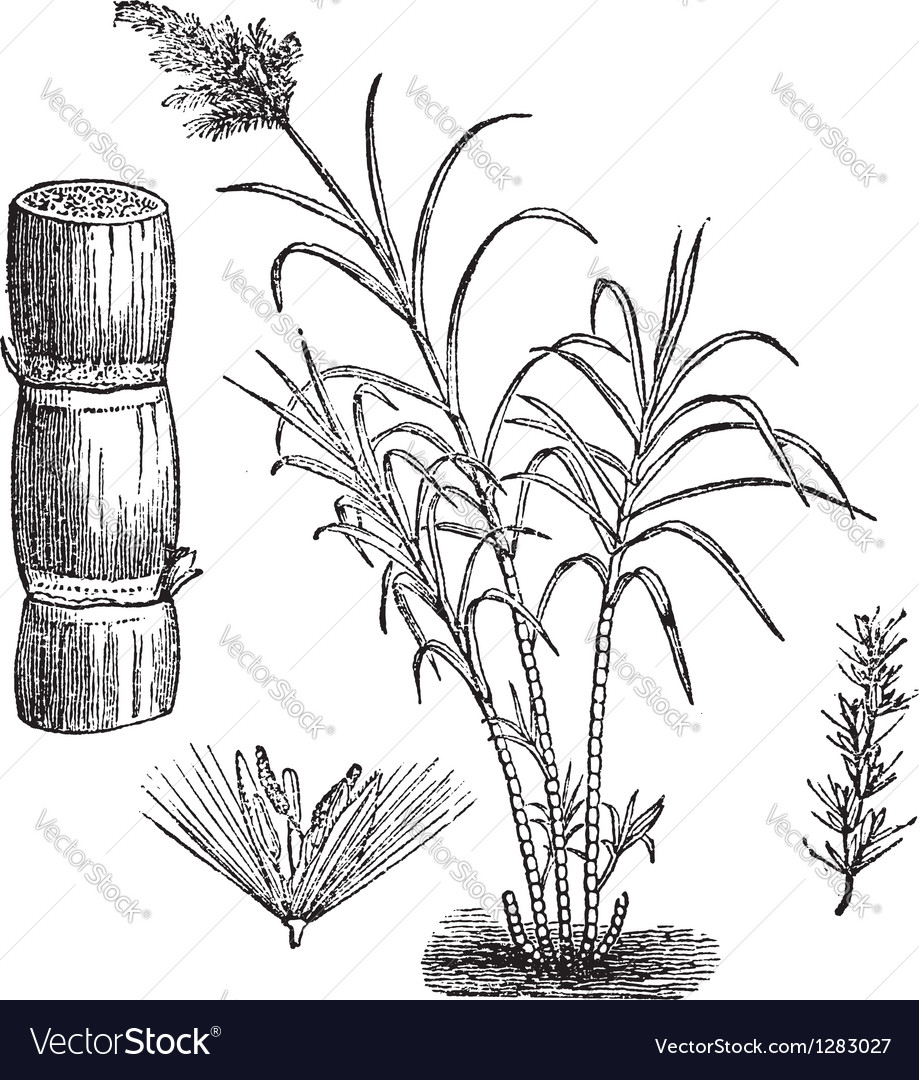 Sugar cane vintage engraving vector