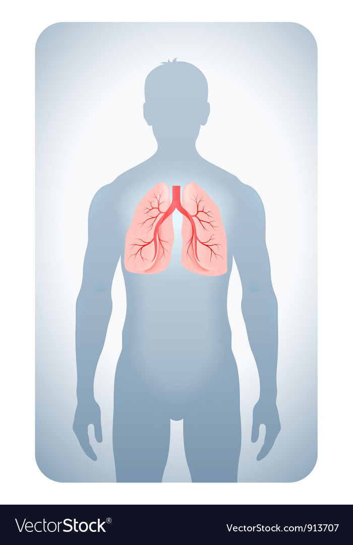 Lungs highlighted vector