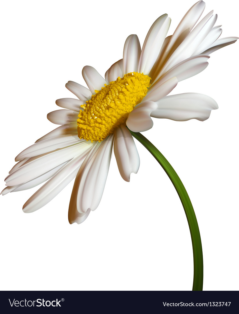 Camomile flower vector