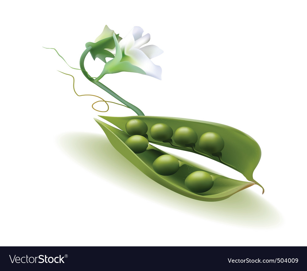 Pod peas with a flower vector