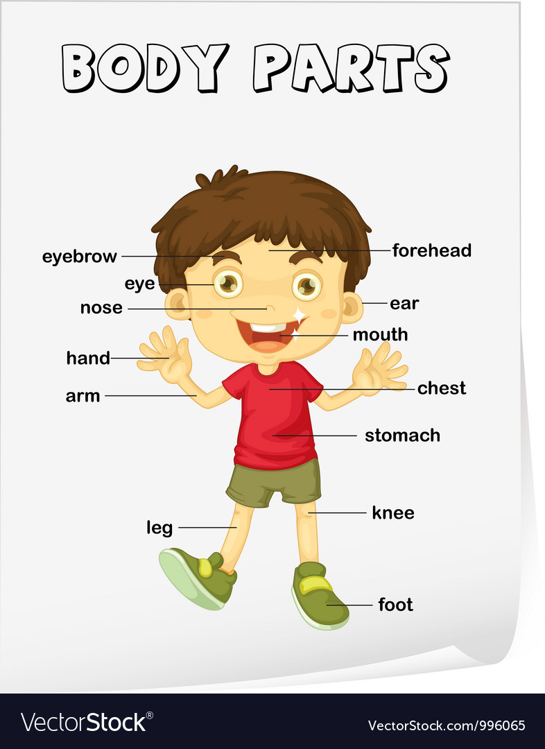 Body Parts Diagram Poster Vector By Iimages - Image  996065