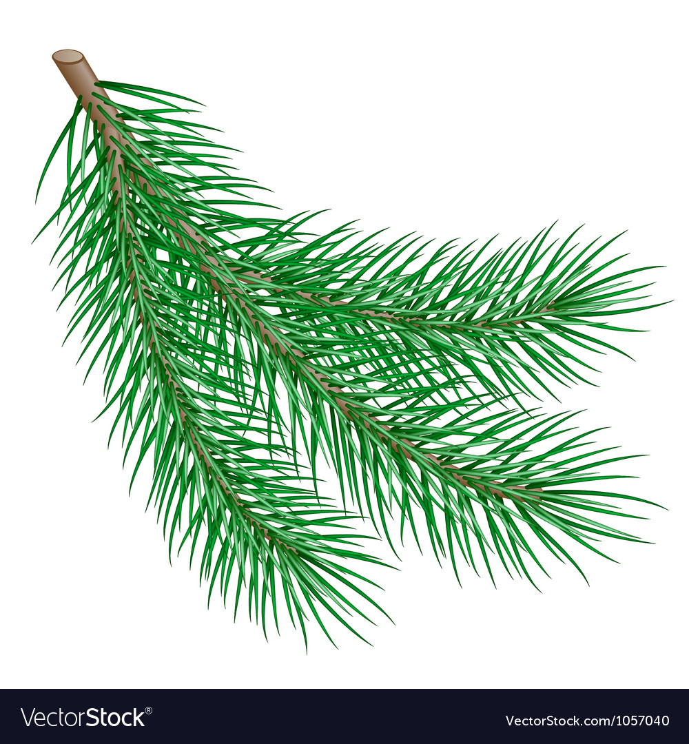 Fir branch vector