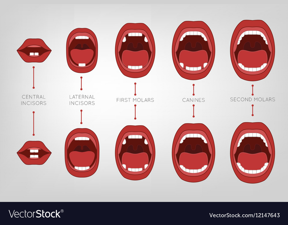 Baby first teeth chart vector by Double_Brain - Image #12147643 ...