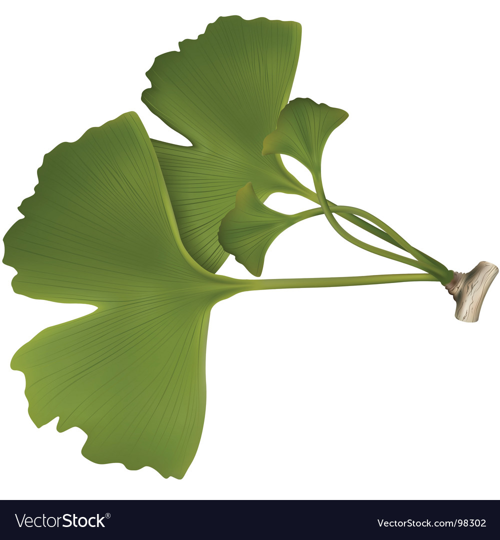 Gingko balboa vector