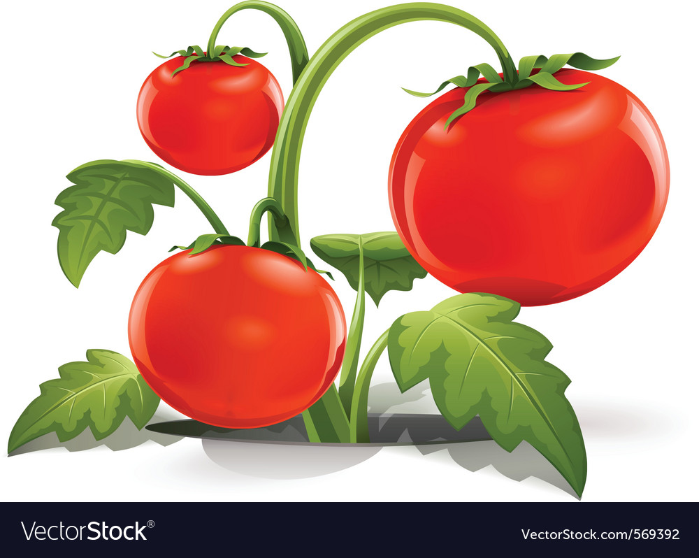 Red ripe tomato vector