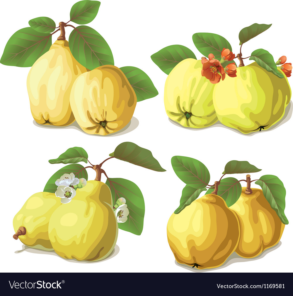 Set of ripe quinces vector