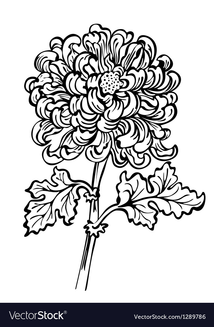 Chrysanthemum black and white vector