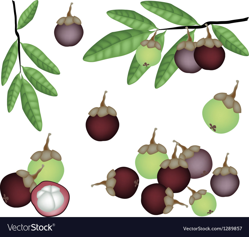 Set of fresh purple and green mangosteens vector