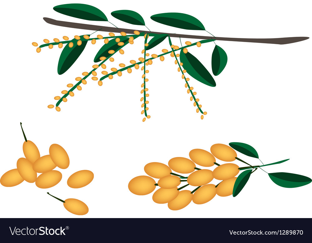 Set of delicious fresh juicy burmese grape vector