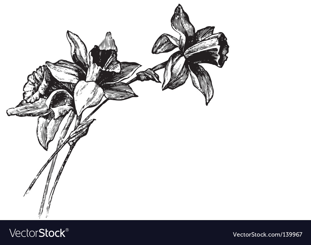 Antique narcissi engraving vector