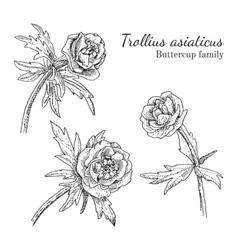 Trollius asiaticus flowerrs sketches set vector