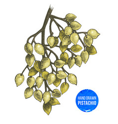 hand drawn branch of pistachio tree vector image vector image