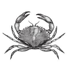 California rock crab vintage vector
