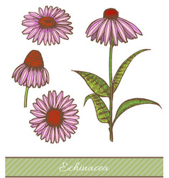 Colored echinacea in hand drawn style vector