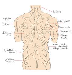 Torso muscles back vector