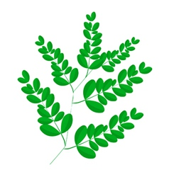A Fresh Moringa Leaves on White Background vector image