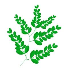 A Fresh Moringa Leaves on White Background vector image